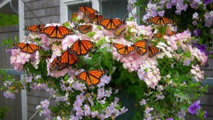 butterfly_house_Monarchs_PRIMARY